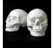 Drawing Plaster Cast Skull Set (Male/Female)