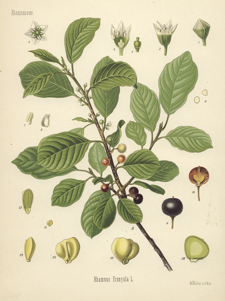 Buckthorn berries (Rhamnuss frangula)